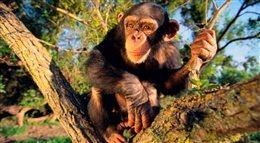 Szympansy także mają trendsetterów