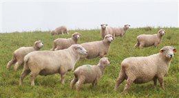 Owce przeciwpowodziowe, czyli powrót baców