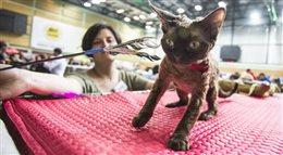 Międzynarodowa wystawa kotów rasowych Warszawa 2014