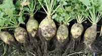Zapomniane warzywa sezonowe wracają na stoły