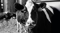 Nowe rosyjskie sankcje na mięso z UE
