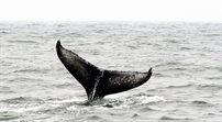 Wojna o wieloryby