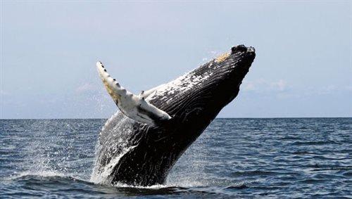 Grenlandia: wieloryby będą zabijane legalne