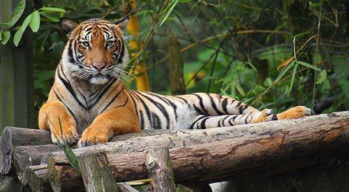 Tygrysy malajskie - zaskakująca akcja ratowania zwierząt