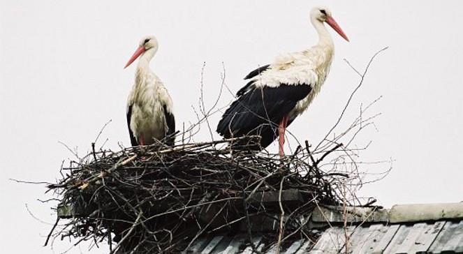 Nie żyją małe bociany z gniazda w Przygodzicach
