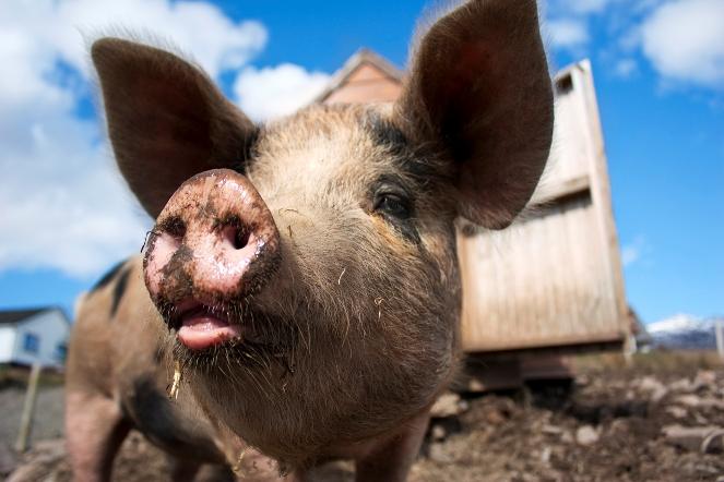 Afrykański pomór świń niszczy polskich producentów trzody