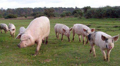 Wzorcowe, nowoczesne gospodarstwo hodowli świń w Sadłowie