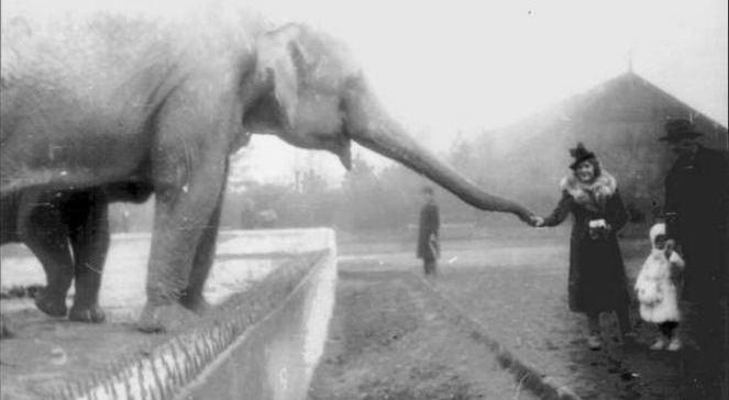 Słonica Kasia z dwuletnią Tuzinką schowaną za matką (1938 rok), foto: Dixiwikipedialic.GNU FDL